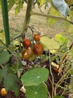 Mes 1ères tomates cerises qui rougissent.