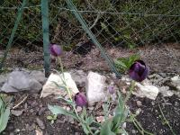 Tulipes violet foncé.