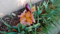 Ma dernière fleur d'iris