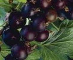 Gelée de casseilles ou de fruits rouges à la stévia