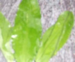 velouté d'ail fraiche sauvage