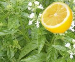 Sorbet Citron/Basilic
