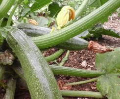 Taboule courgette express ou tartare de legumes